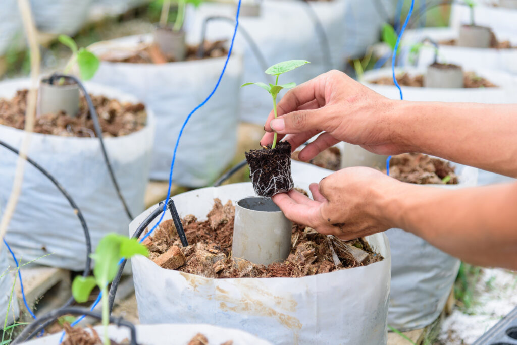 Plant the sapling in crop bags