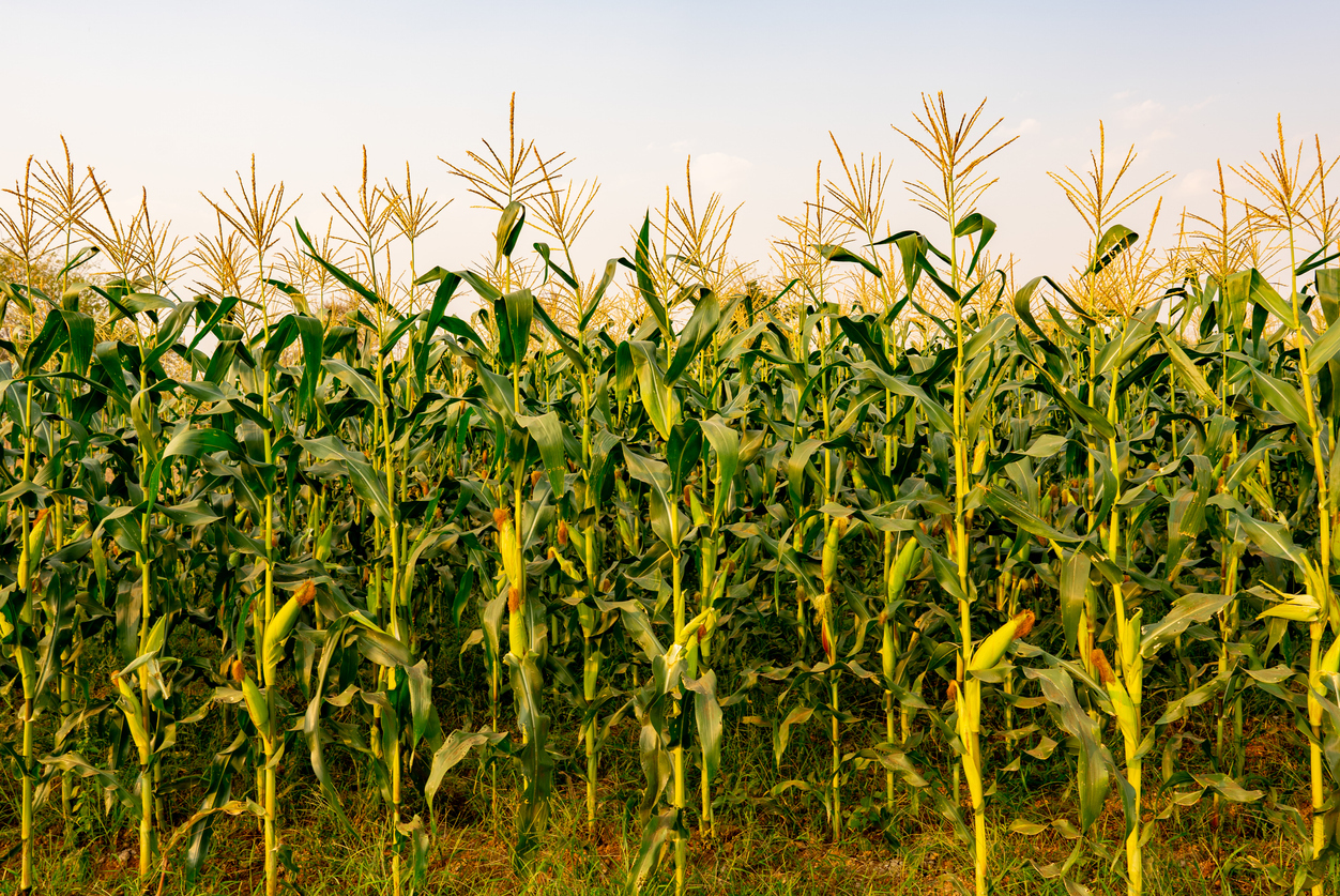 Maize or corn organic planting in cornfield it is fruit of corn for harvesting by manual labor maize production is used for ethanol animal feed and other such as starch and syrup farm green nature
