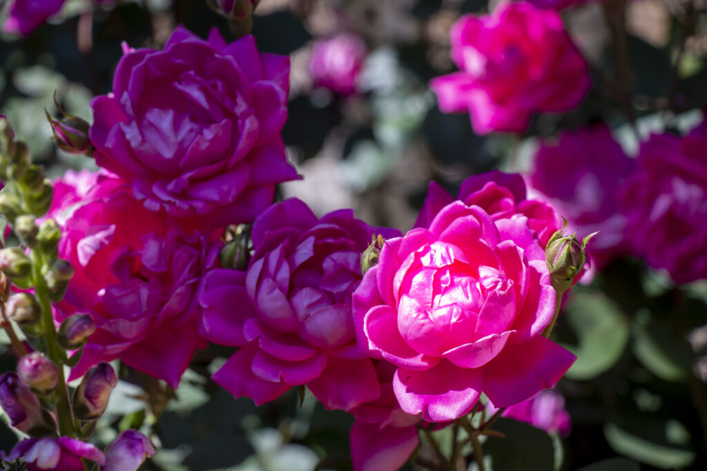 How To Grow And Care For Knock Out Roses