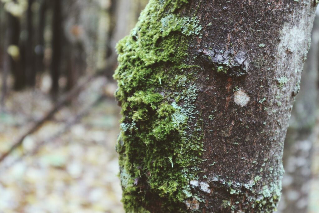 Lichens On Trees