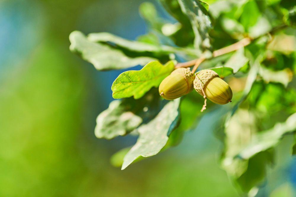Green acorns on oak branch, copy space