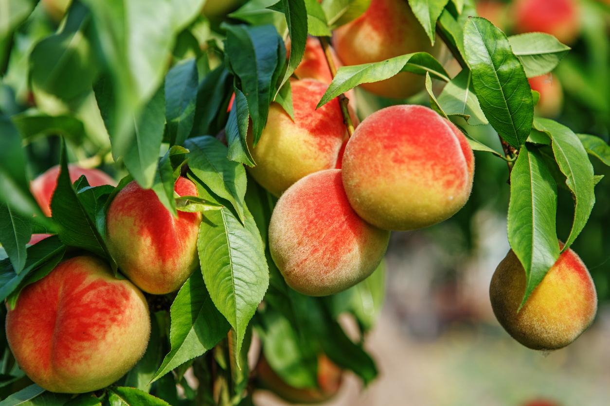 Peach Tree Care