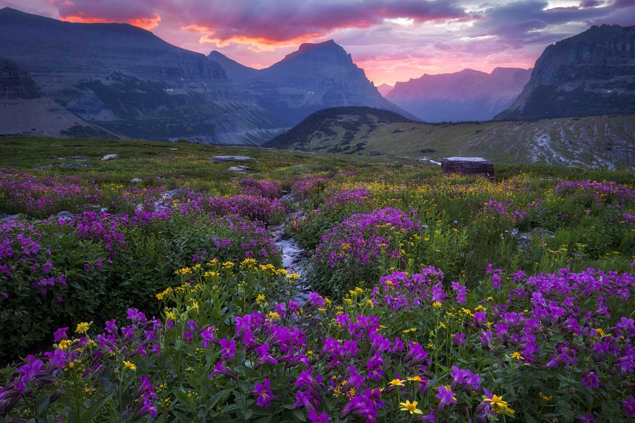 Glacier national park meadow in bloom going to the sun