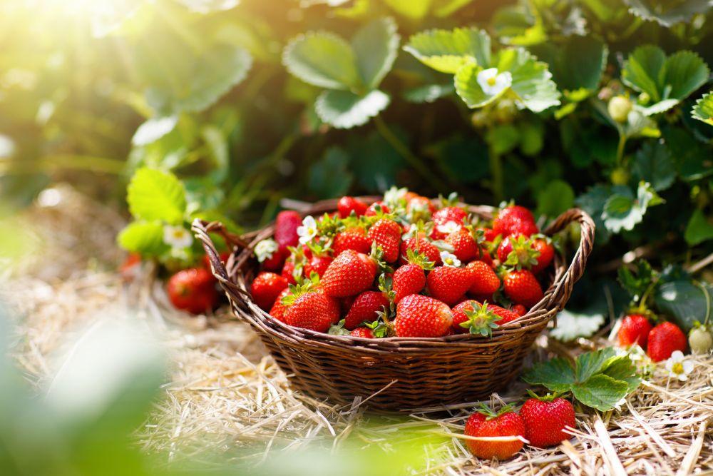 Best way to store fresh strawberries