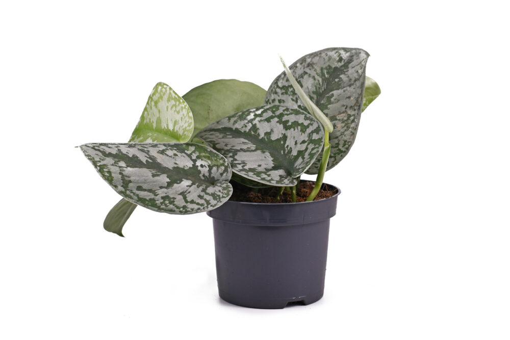 Exotic 'scindapsus pictus exotica' or 'satin pothos' houseplant with large leaves with velvet texture and silver spot pattern