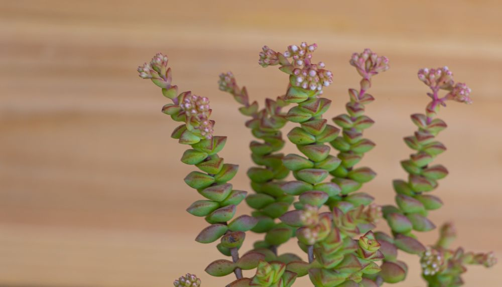 Crassula rupestris with tiny flowers on wooden background