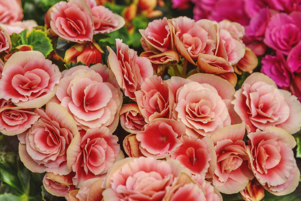 Begonia elatior berseba pink flowers for patio, garden, balkon, park, home