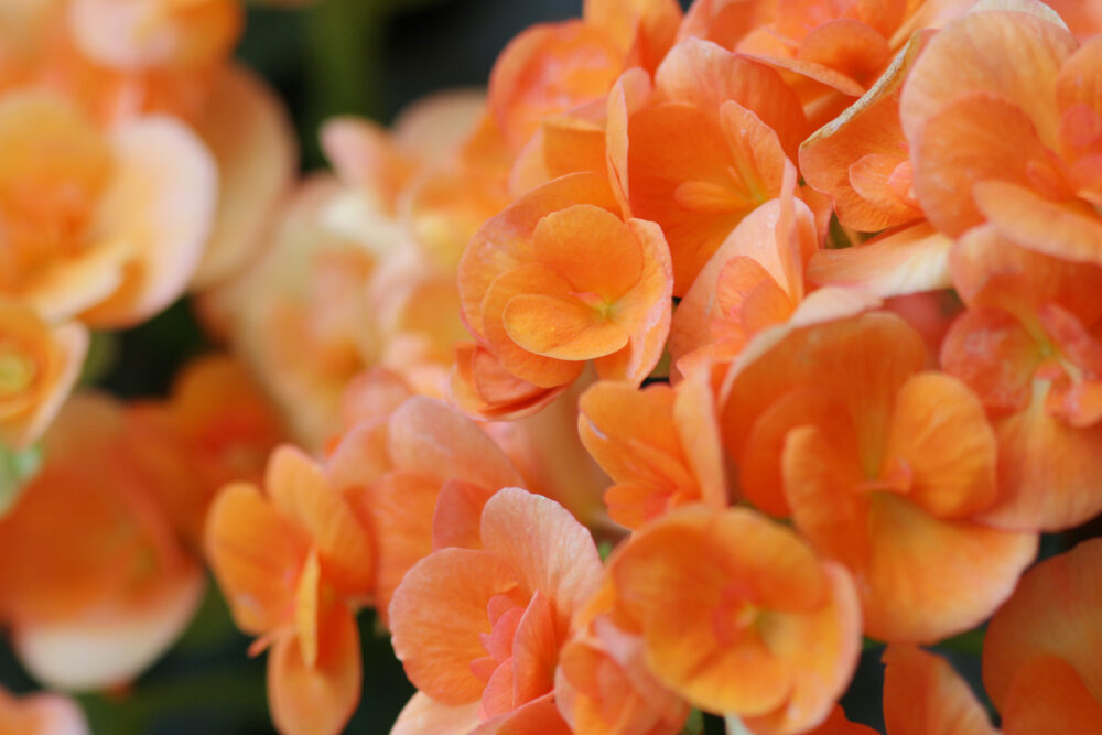 Rieger begonia flower at nature
