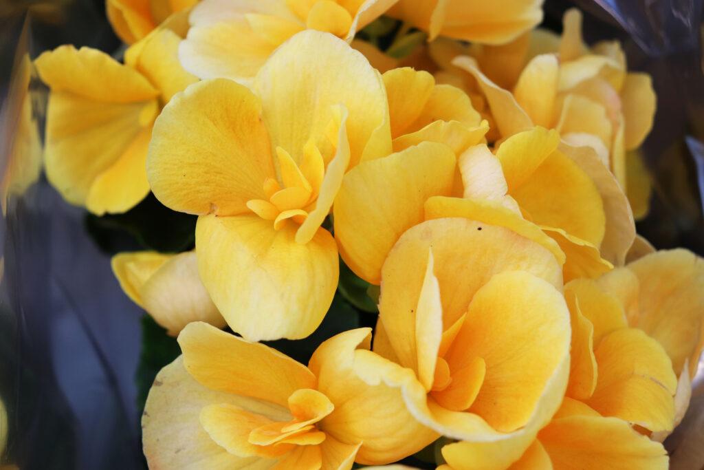 Flowers begonia elatior yellow closeup