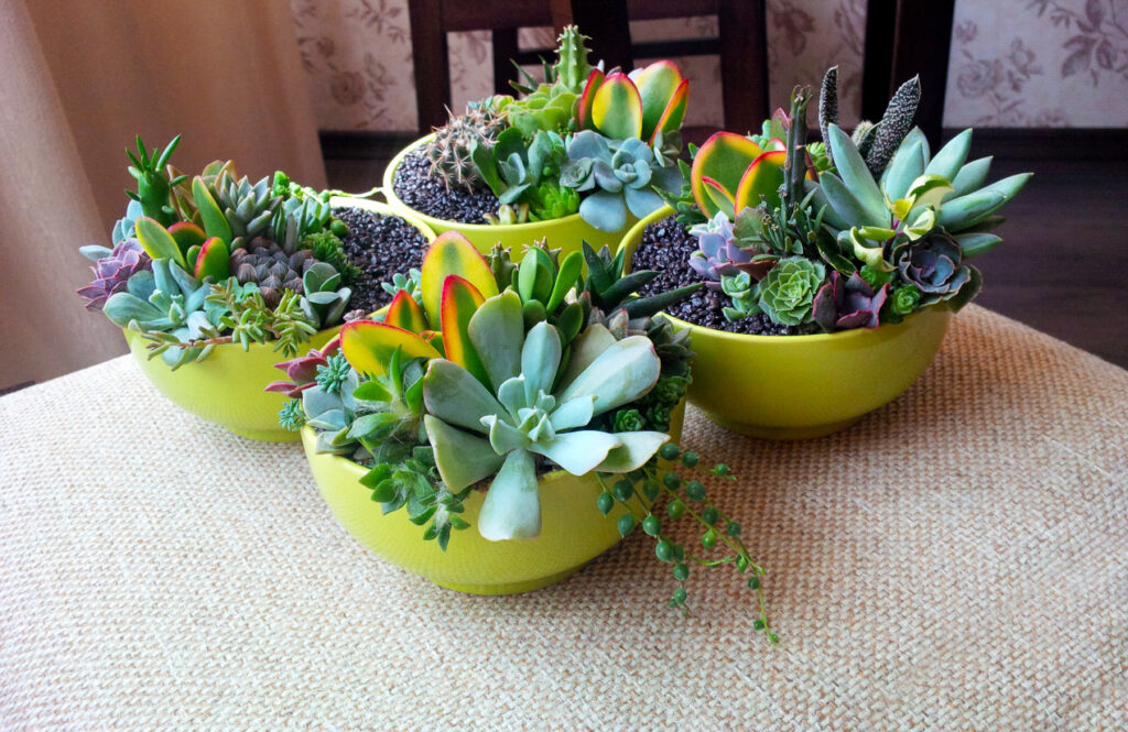 Colorful succulents composition in bright lime bowls