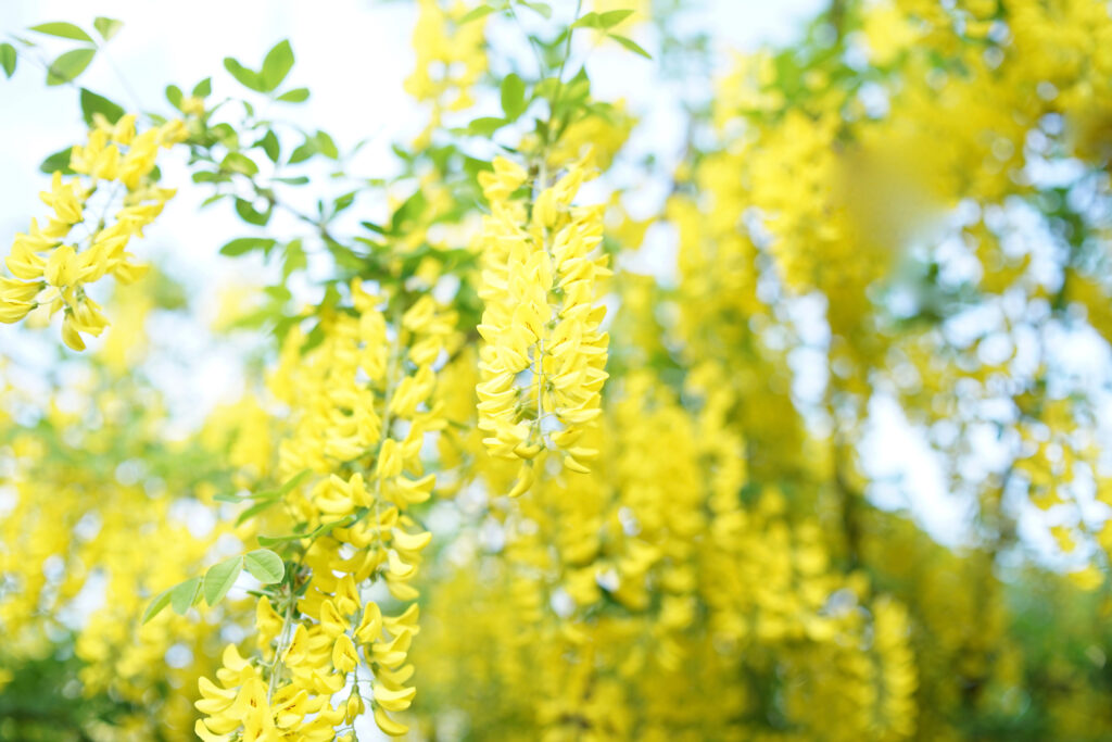 Laburnum, sometimes called golden chain or golden rain, is a genus of two species of small trees in the subfamily faboideae of the pea family fabaceae