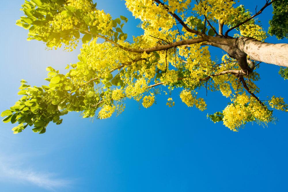 Colorful flowers in garden yellow flowers call cassia fistula linn or ratchaphruek in thailand, asia