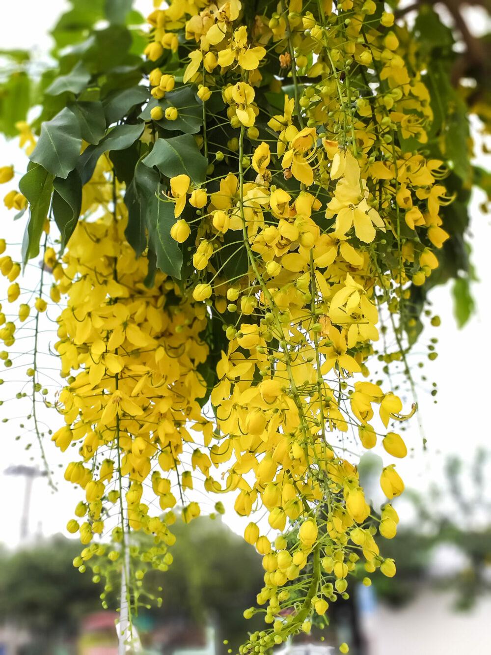 Cassia fistula thailand national flower