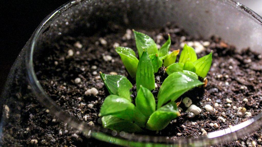 Succulent haworthia retusa