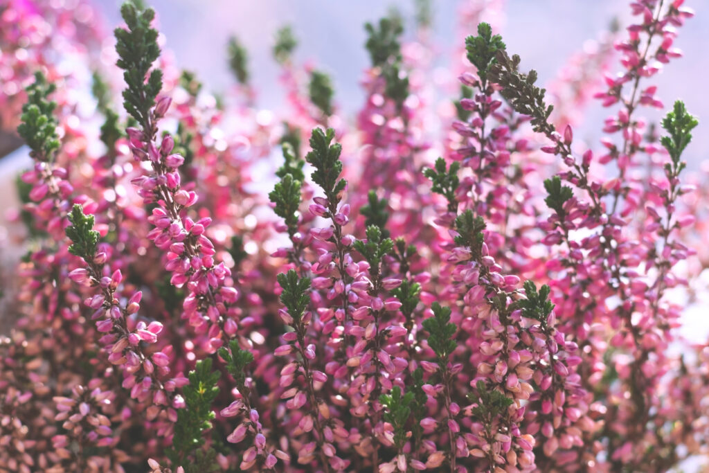 Heather flowers common known as callluna vulgarus is growing in the pot at home