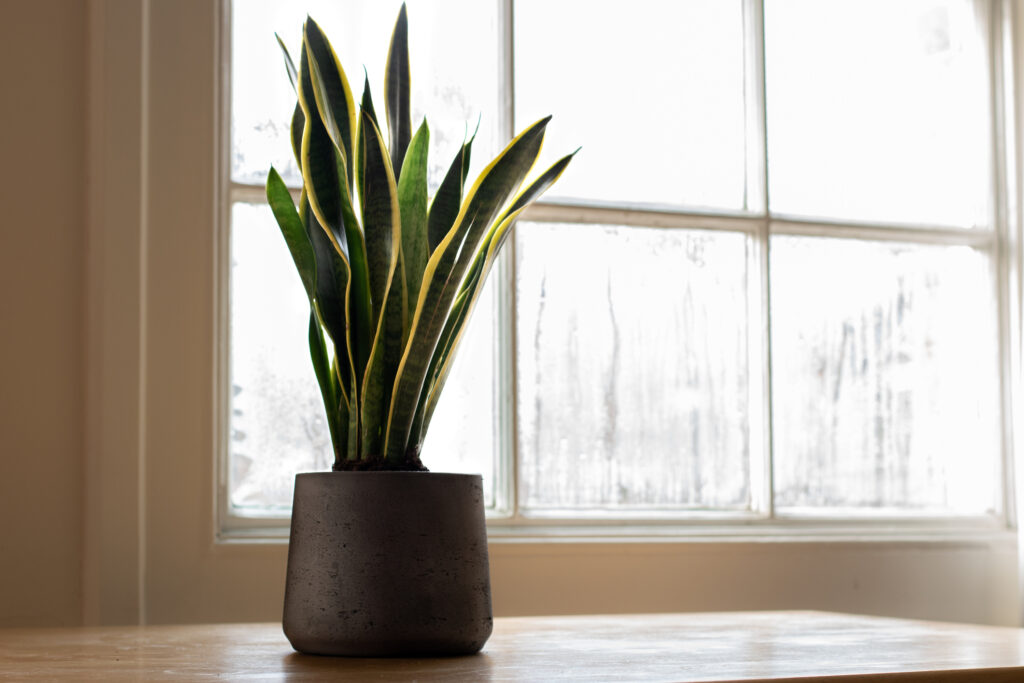 Snake plant next to a window, in a beautifully designed interior