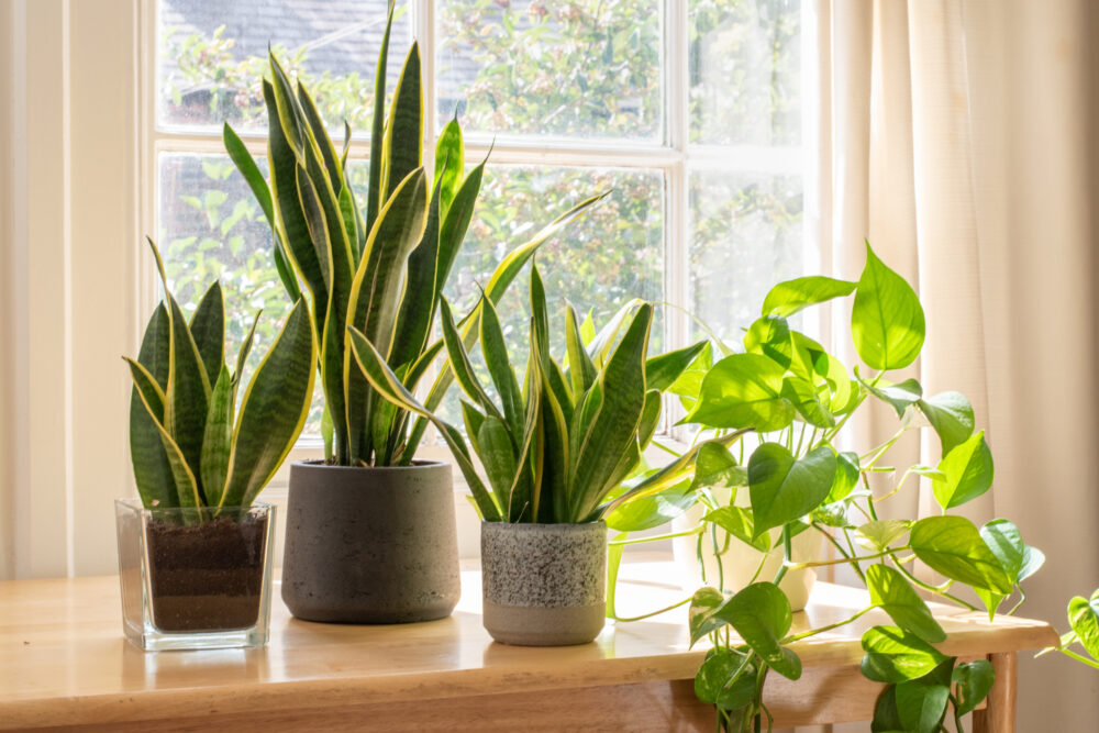 Potted snake plants inside a beautiful new flat or apartment