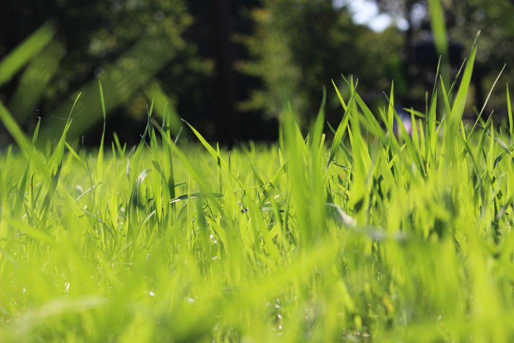 Tall fescue on the ground