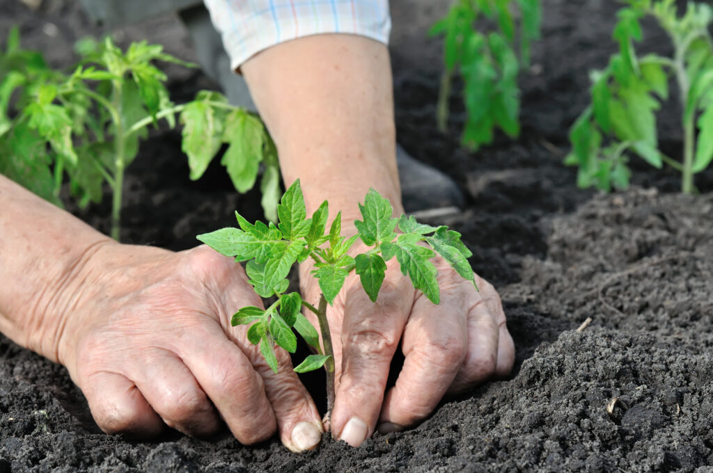 Close up of gardener's hands planting a tomato seedling