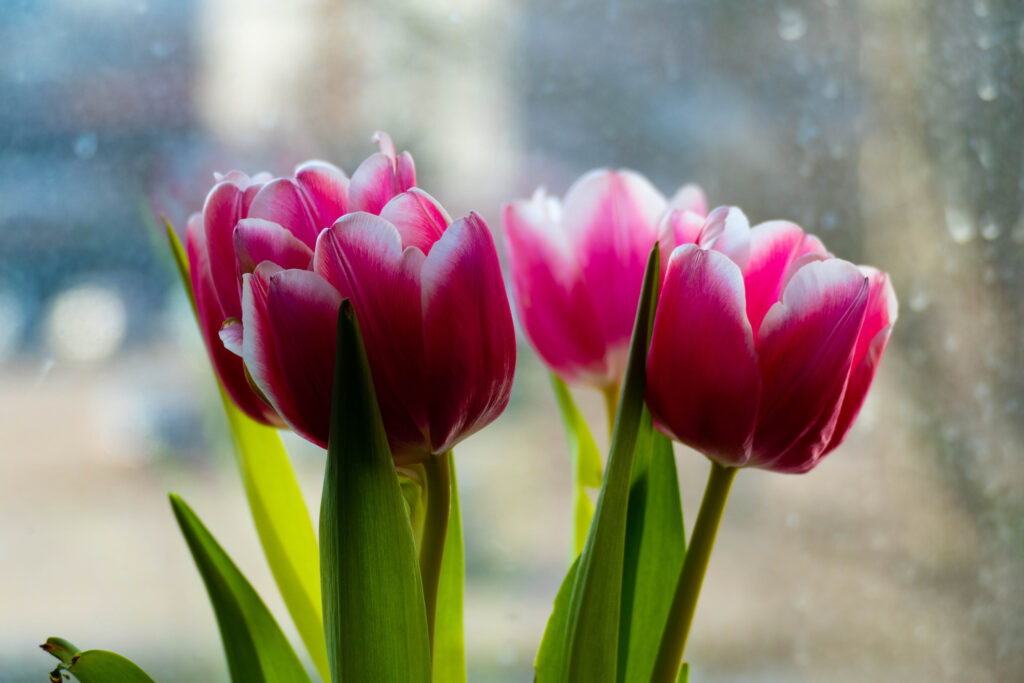 Pink tulips and window in the morning