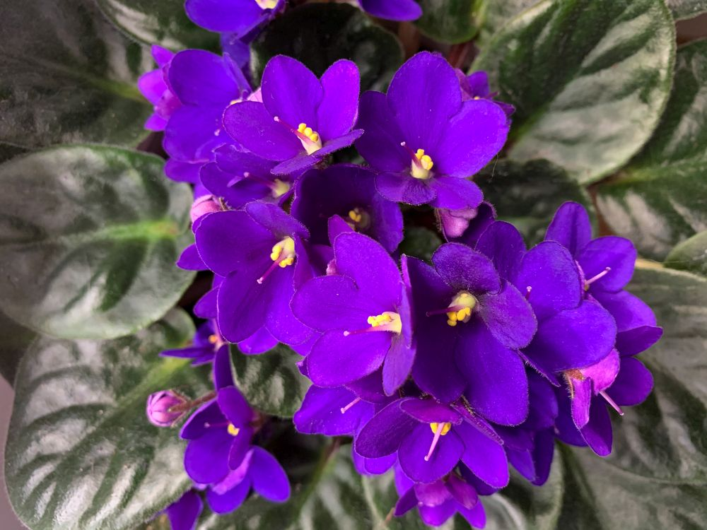 African violet home plant in vibrant purple top view