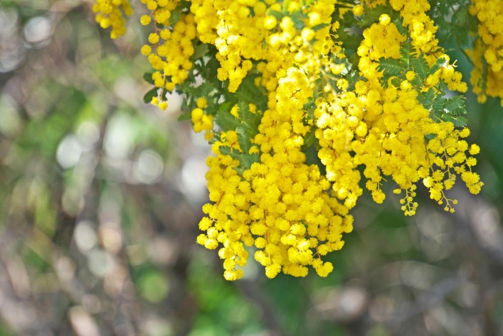 Bailey Acacia Tree