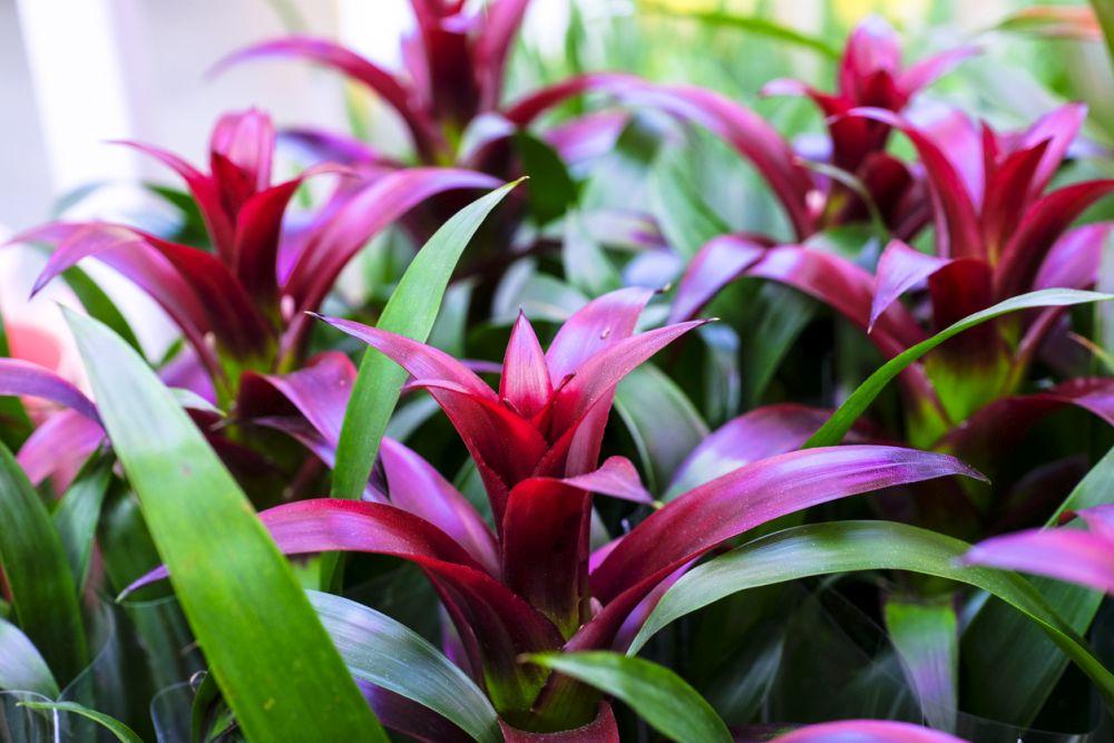 Guzmania Plants