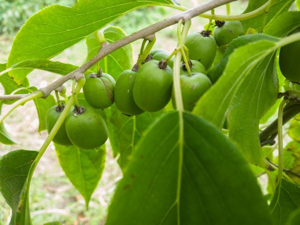 Hardy kiwi fruits