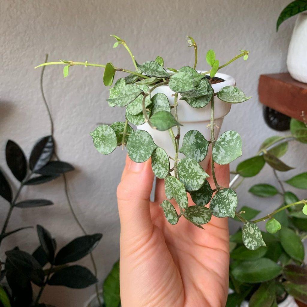 Hoya curtisii care