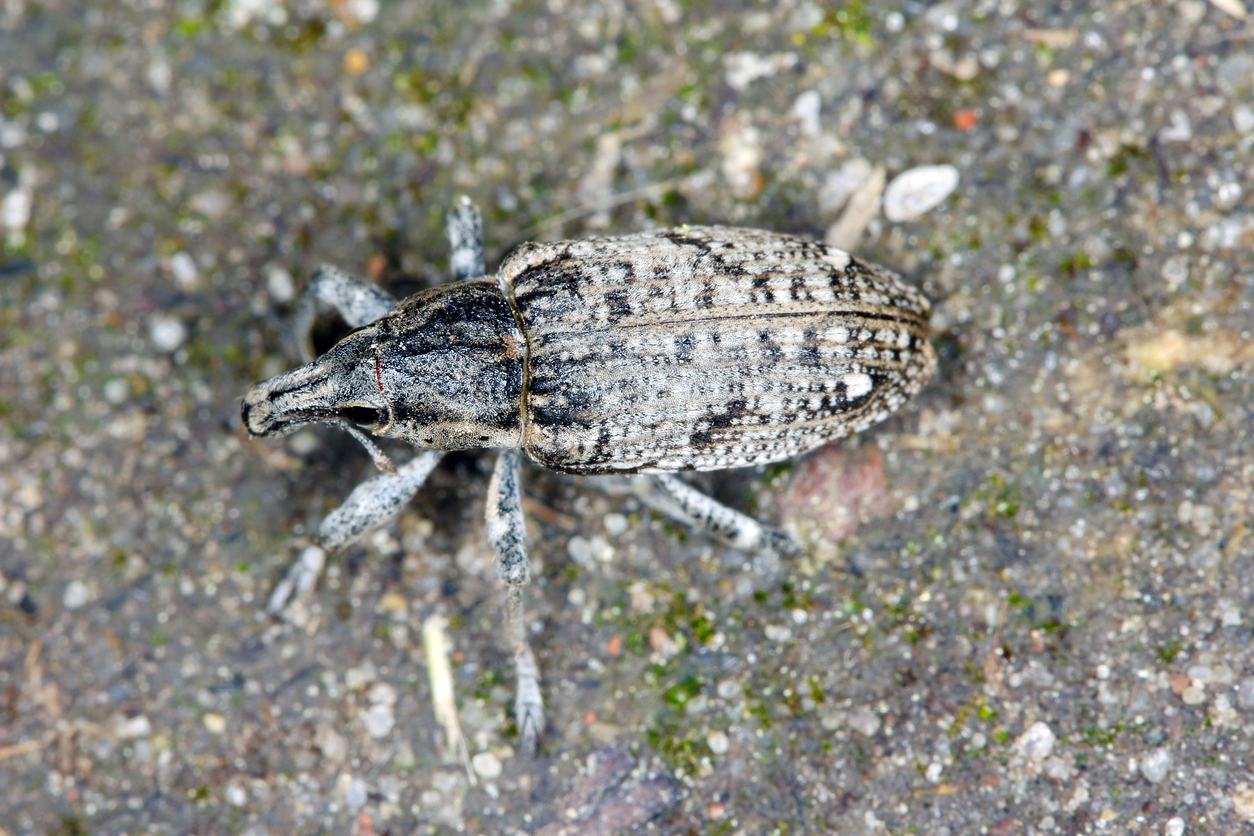 Root weevil