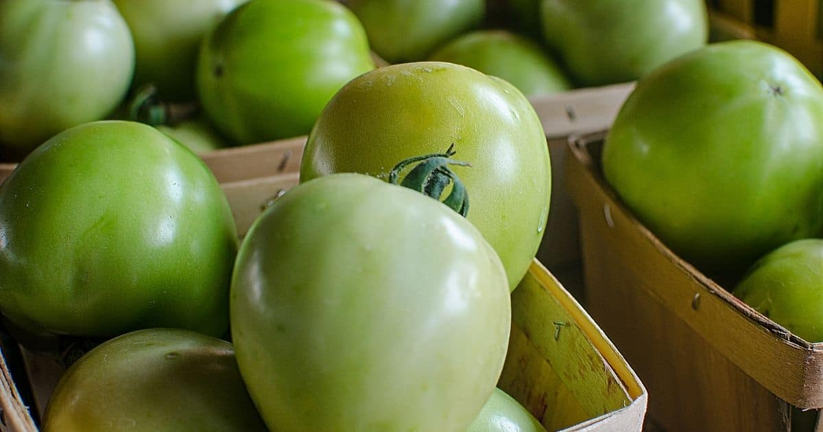 A picture showing green tomatoes