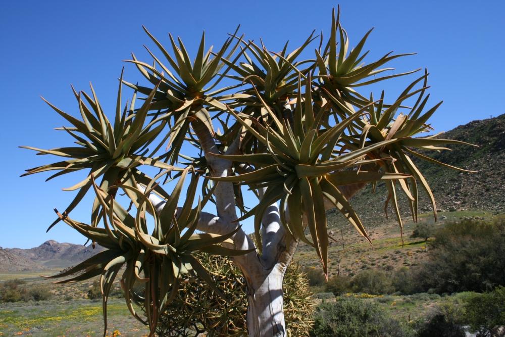 Aloe trree