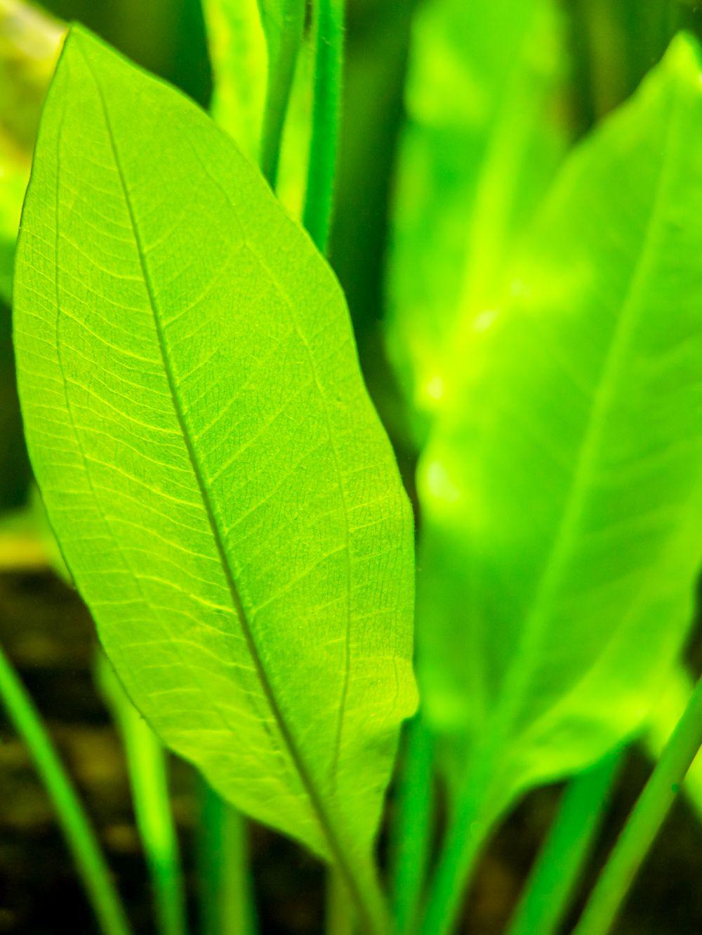 Amazon sword plant (echinodorus amazonicus) close up on a fish tank