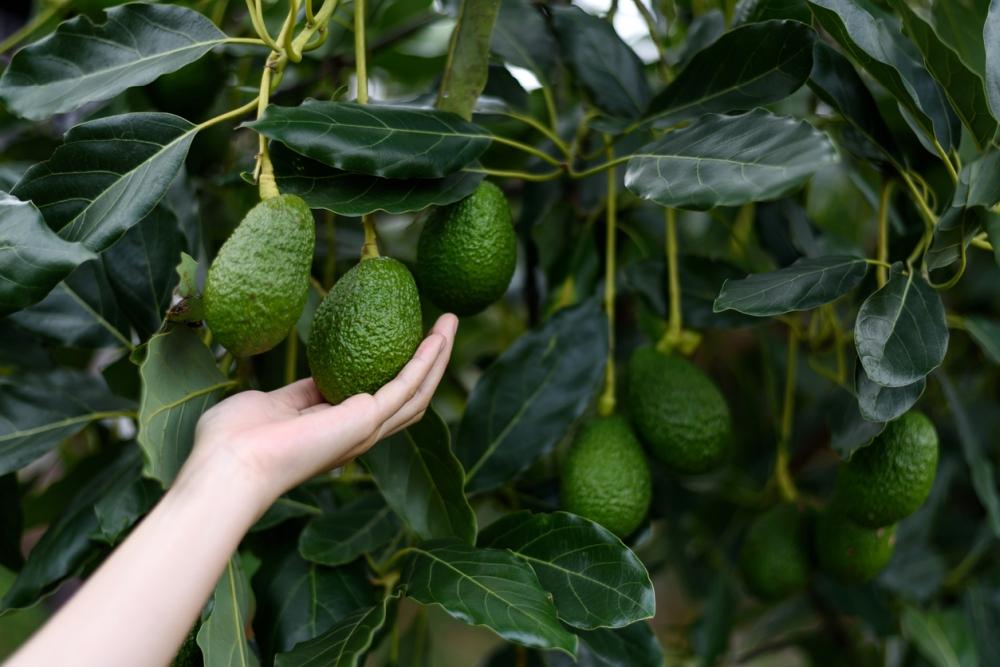 Avocado tree care
