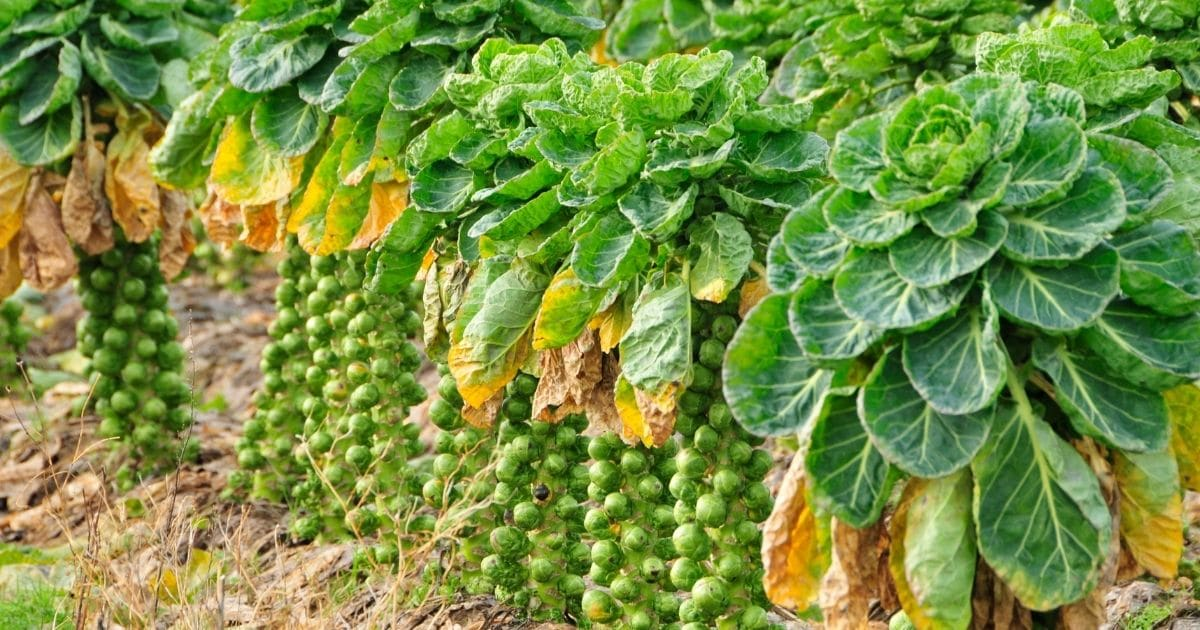 Brussel sprout plants.