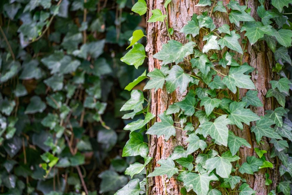 Climbing tree ivy