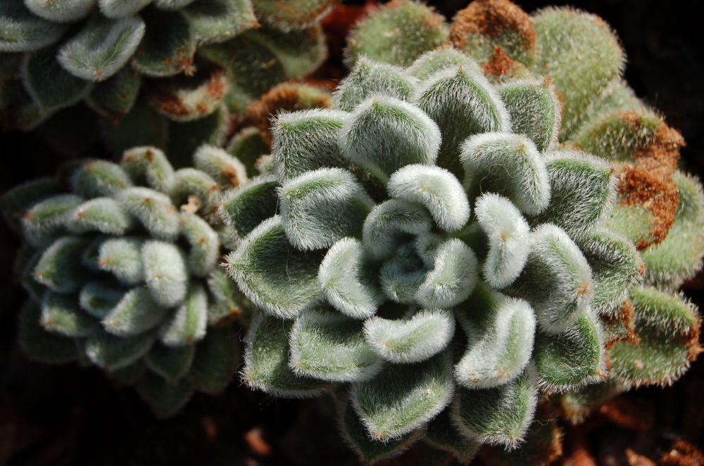 Echeveria setosa (1)