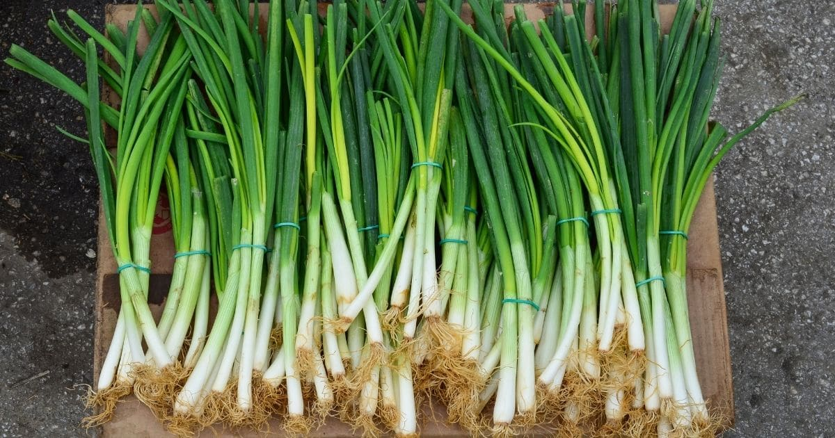 Can You Freeze Green Onions