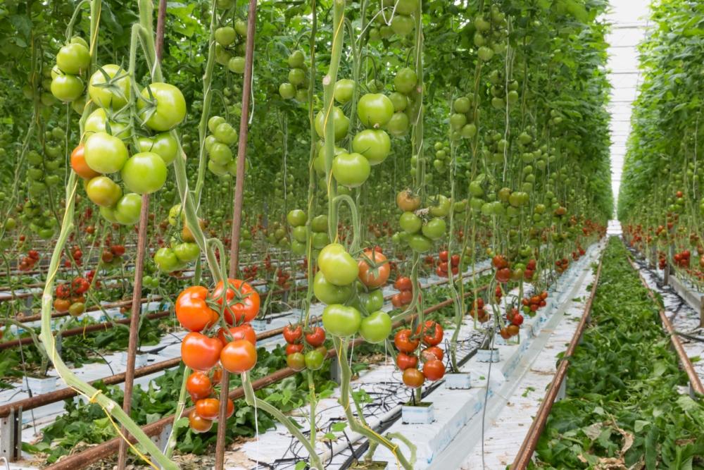 Tomato Leaves Turn Yellow