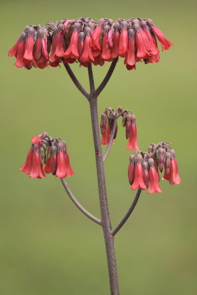 How to Propagate Kalanchoe tubiflora