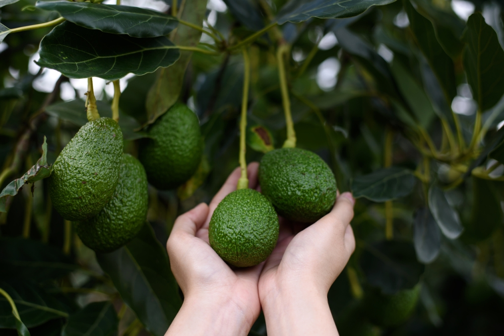 How to care of avocado tree