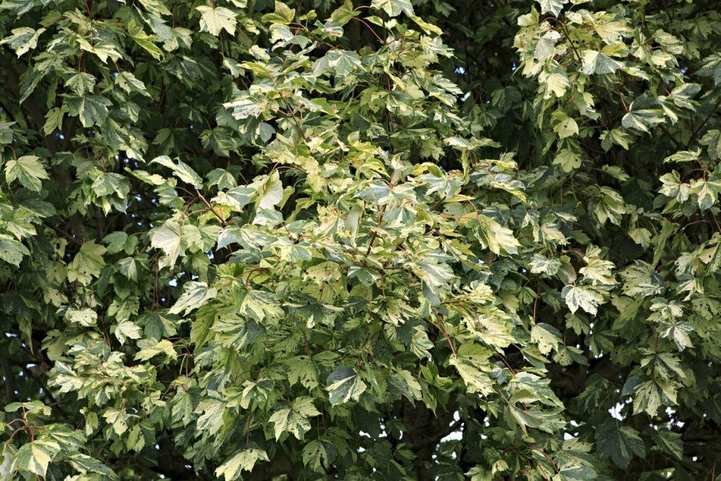 Tree Ivy Houseplant