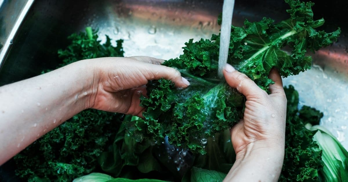 A pair of hands washing curly kale leaves