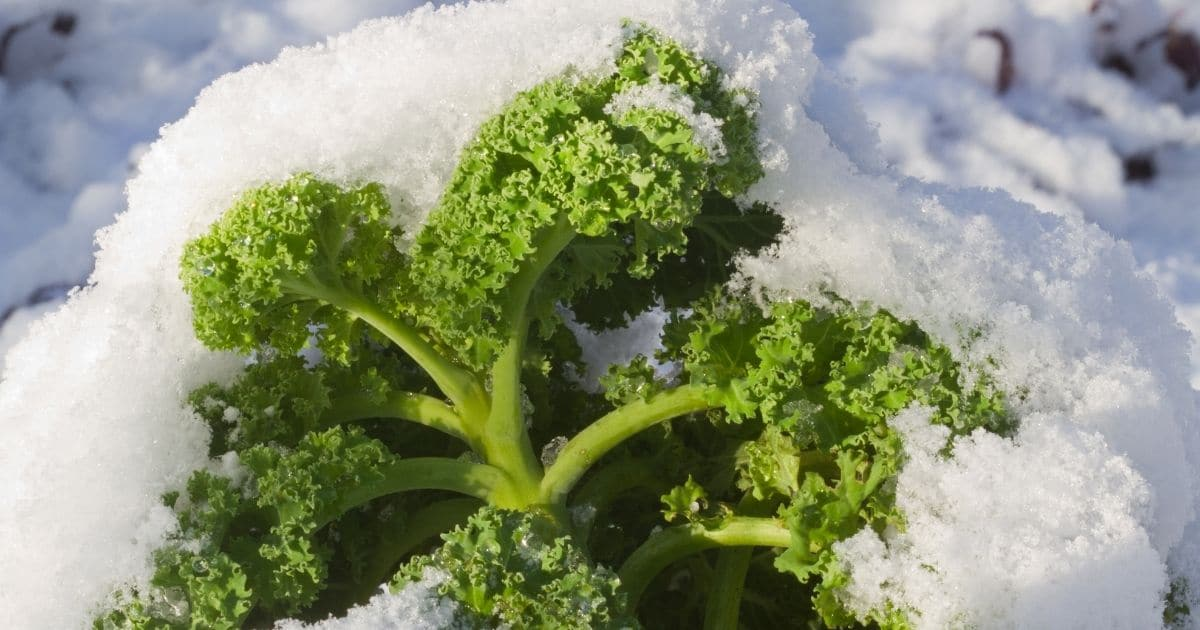 Kale surrounded by ice