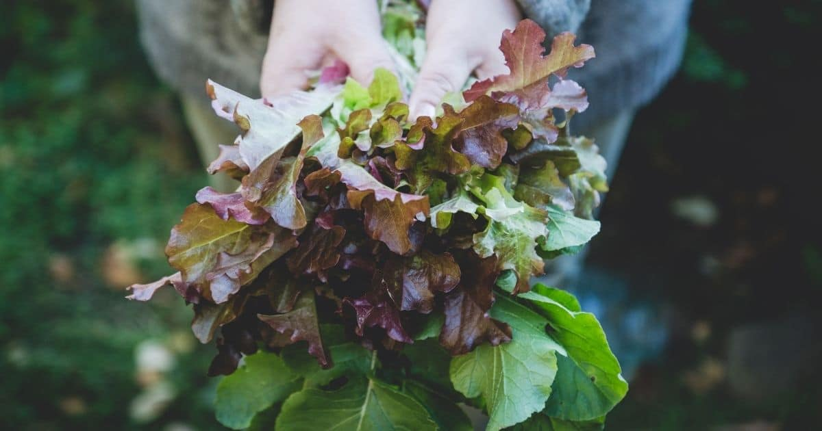 Unrefrigerated lettuce leaves