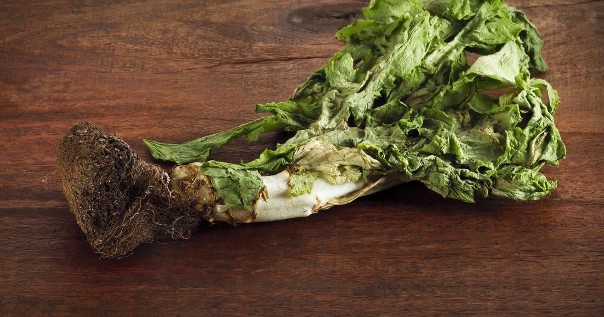 lettuce gone bad