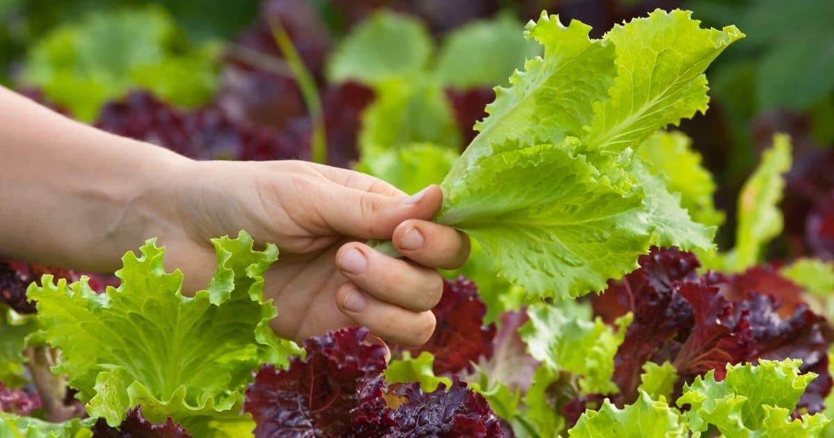 freezing lettuce types