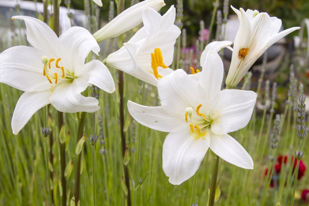 Lilium candidum care