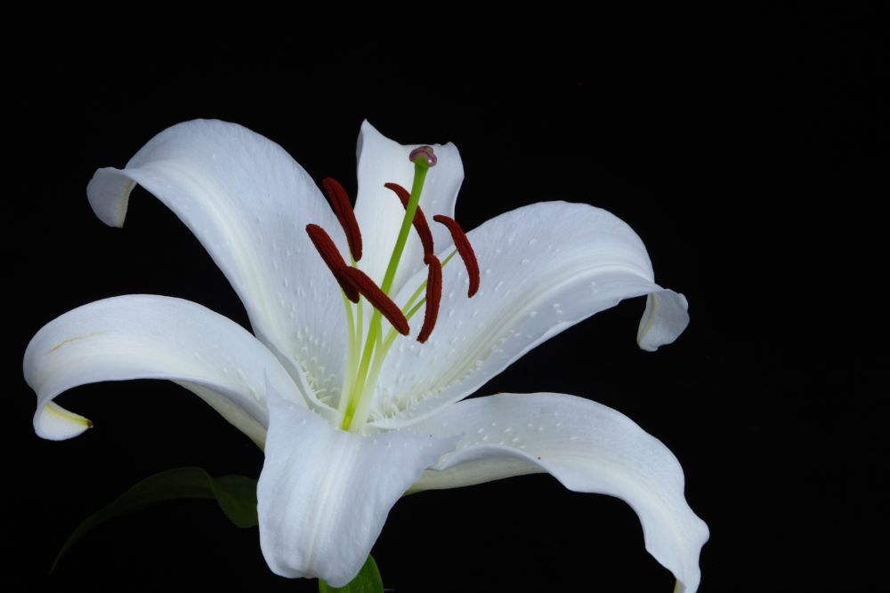 Lilium candidum caring tips