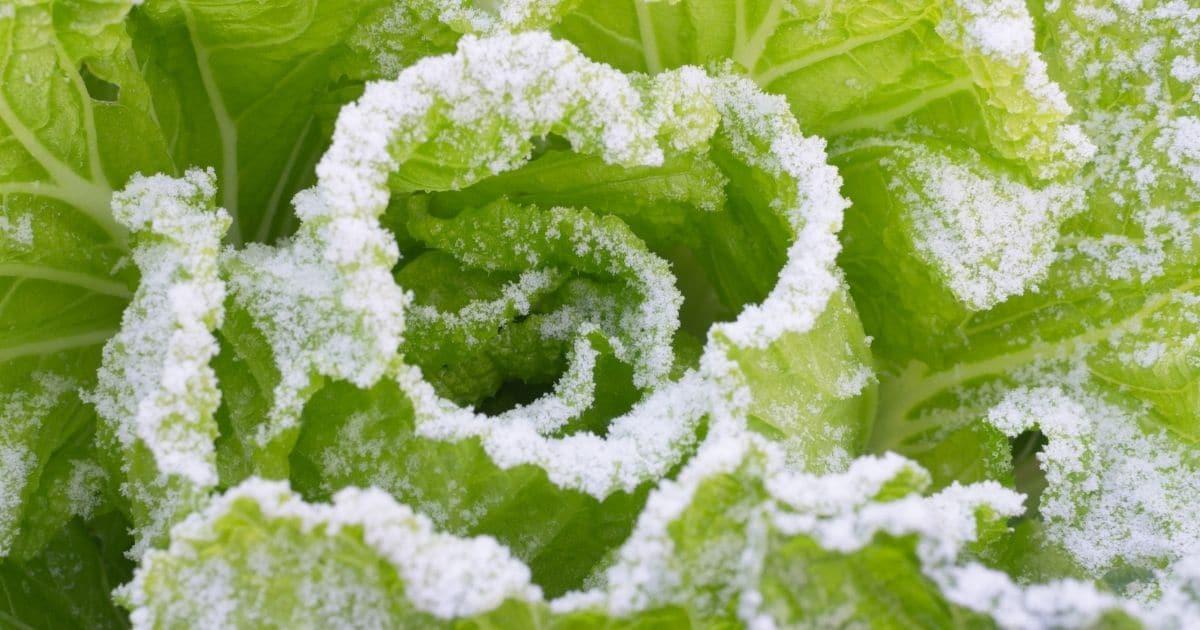 Frozen cabbage